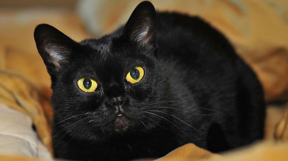 Jet Black Cat Breed