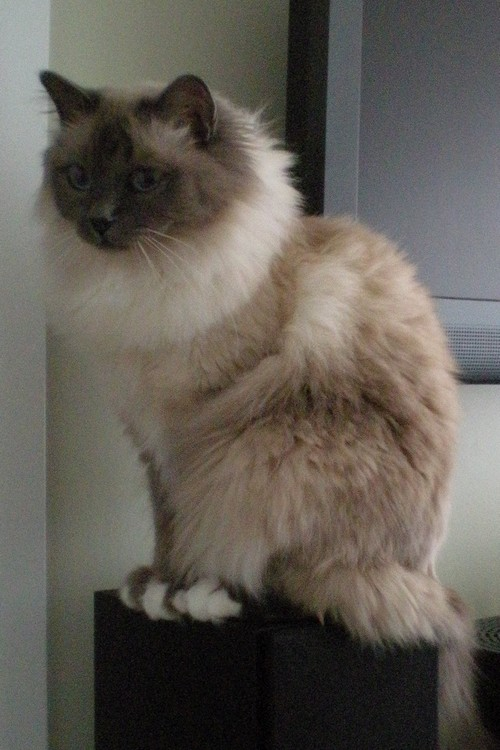 Birman Cat at www.coolcattreehouse.com