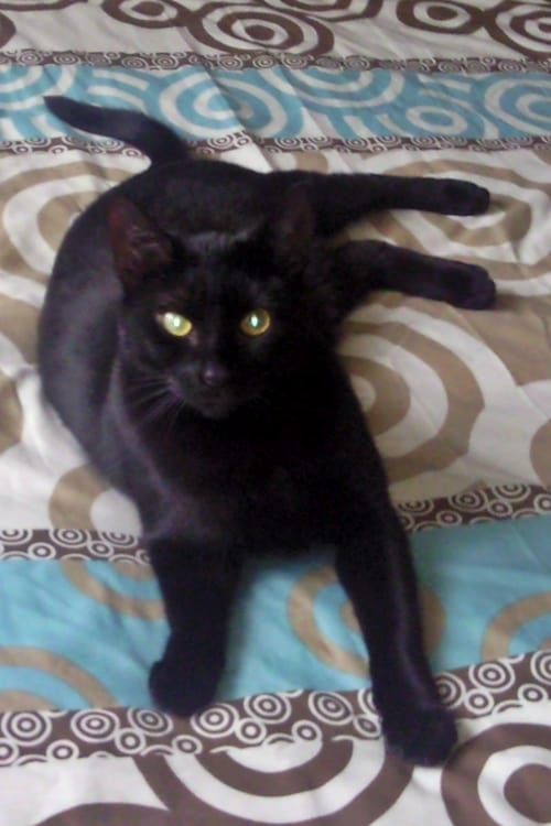 Bombay Cat at www.coolcattreehouse.com