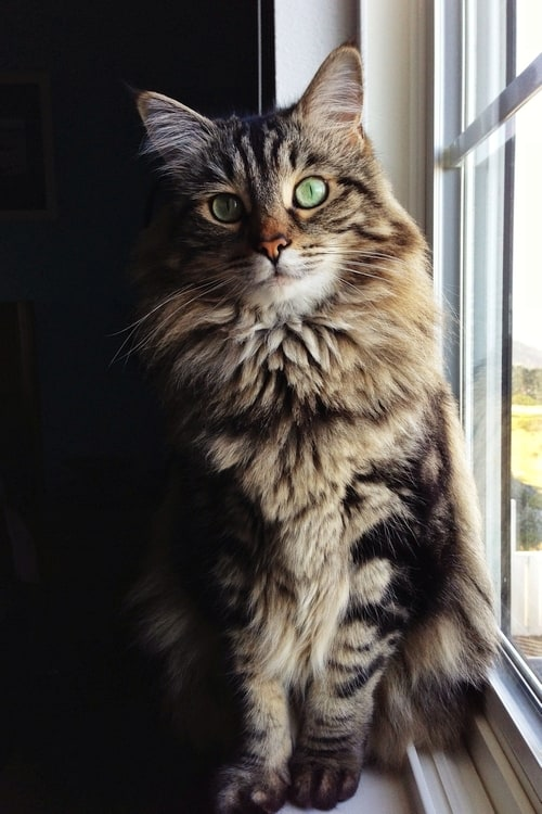 Maine Coon Cat at www.coolcattreehouse.com