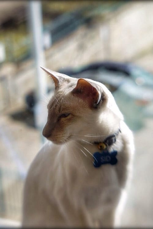 Oriental Cat at www.coolcattreehouse.com