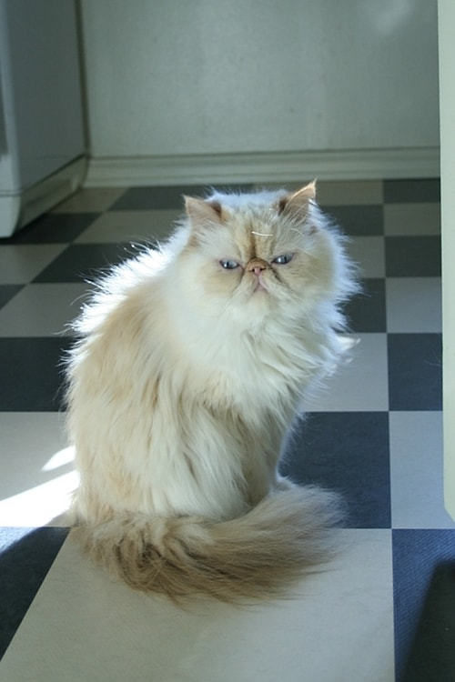 Persian Cat at www.coolcattreehouse.com