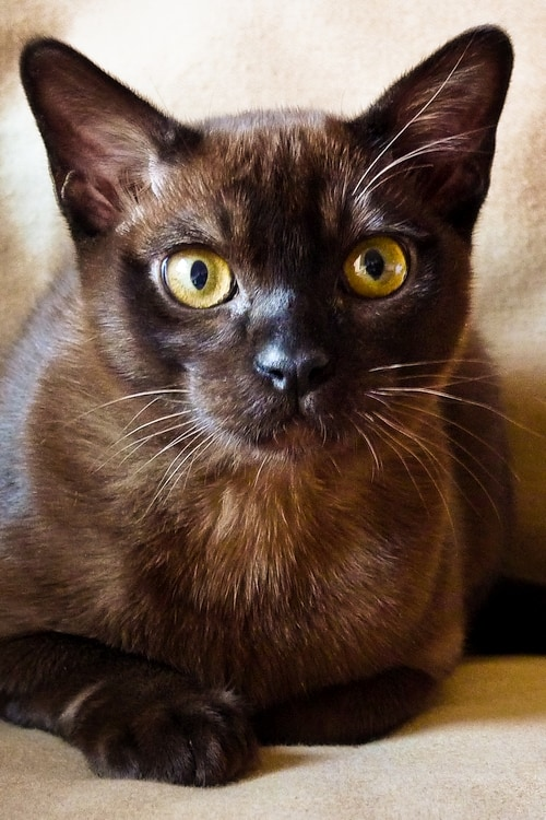 burmese cat breed cool cat tree house