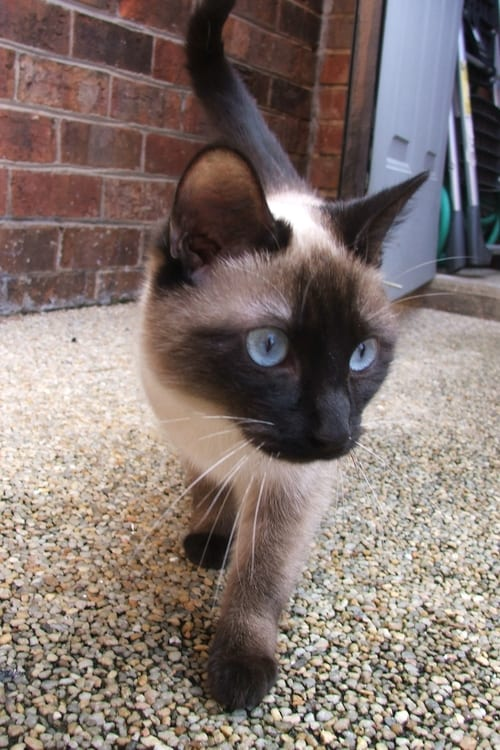 Siamese Cat at www.coolcattreehouse.com