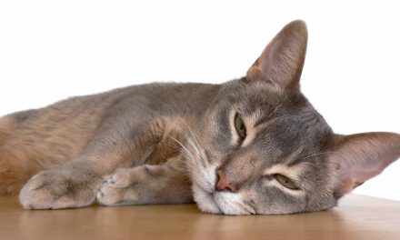 The Awesome Abyssinian Cat Breed