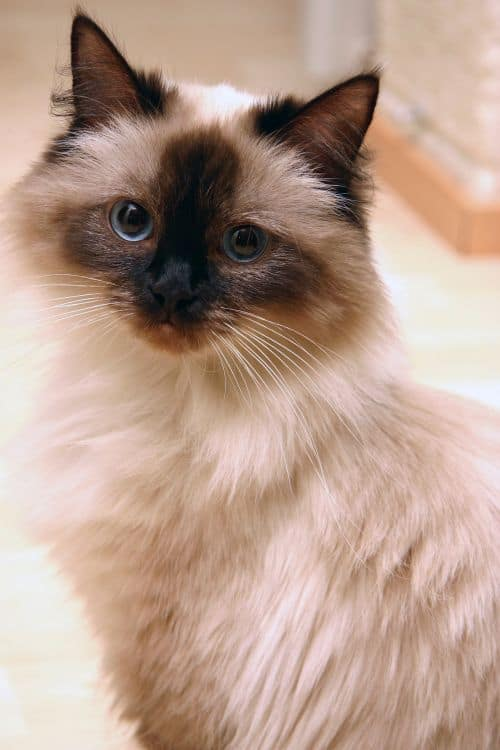 Ragdoll Cat Breed