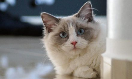 The Radiant Ragdoll Cat Breed