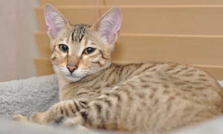 The Super Savannah Cat Breed
