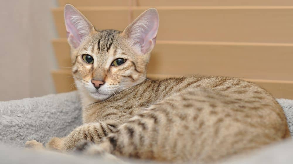 The Super Savannah Cat Breed - Cool Cat Tree House