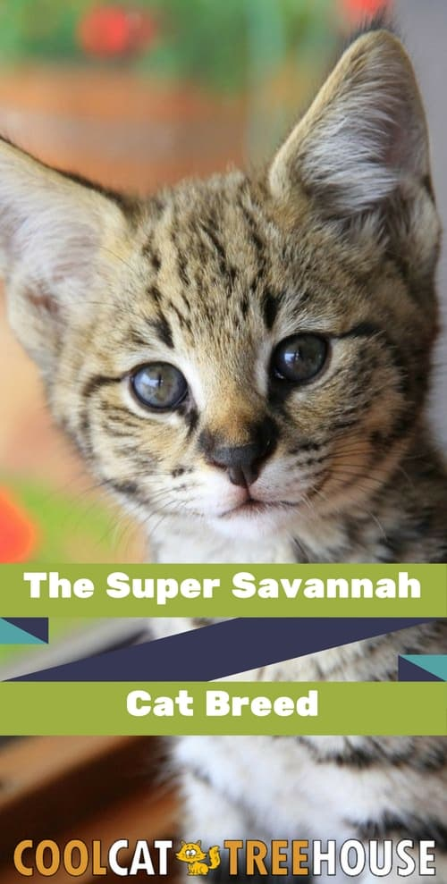 The Super Savannah Cat Breed Cool Cat Tree House