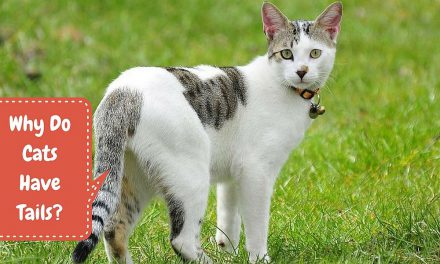 Why Do Cats Have Tails? – Kitty Anatomy