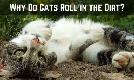 Why Do Cats Roll in the Dirt?