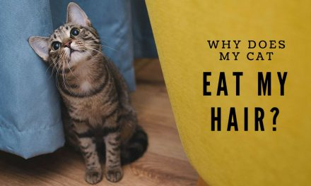 Why Does My Cat Eat My Hair?