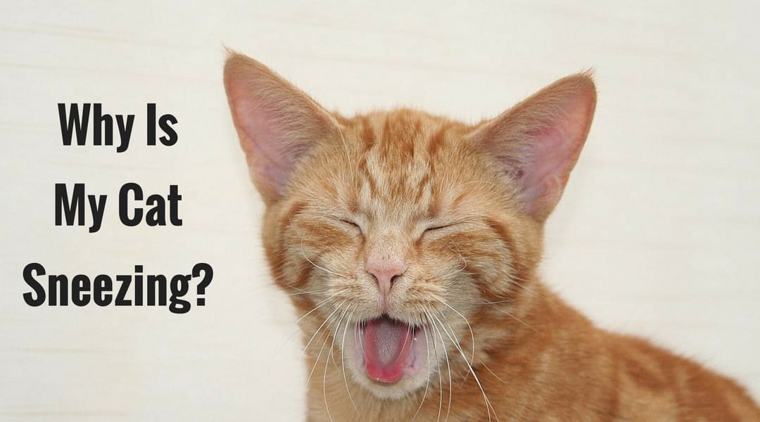 Why Is My Cat Sneezing? – Sneezy Kitty