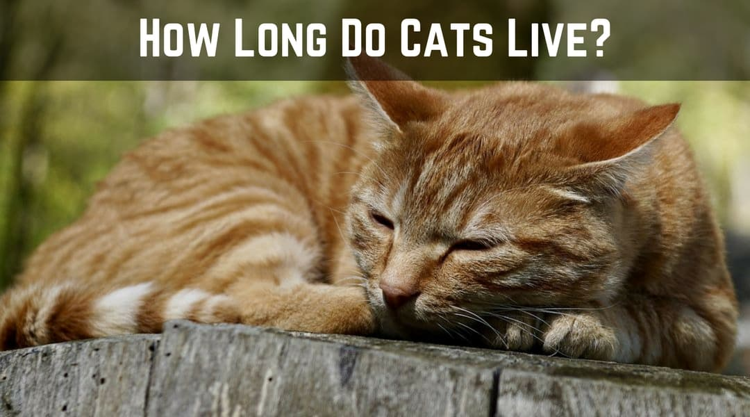 How Long Do Cats Live? – Facts About Cat Lifetime
