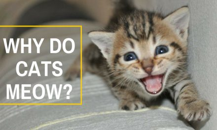 Why Do Cats Meow? – Kitty Communication