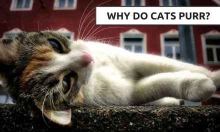 Why Do Cats Purr? – The How and Why