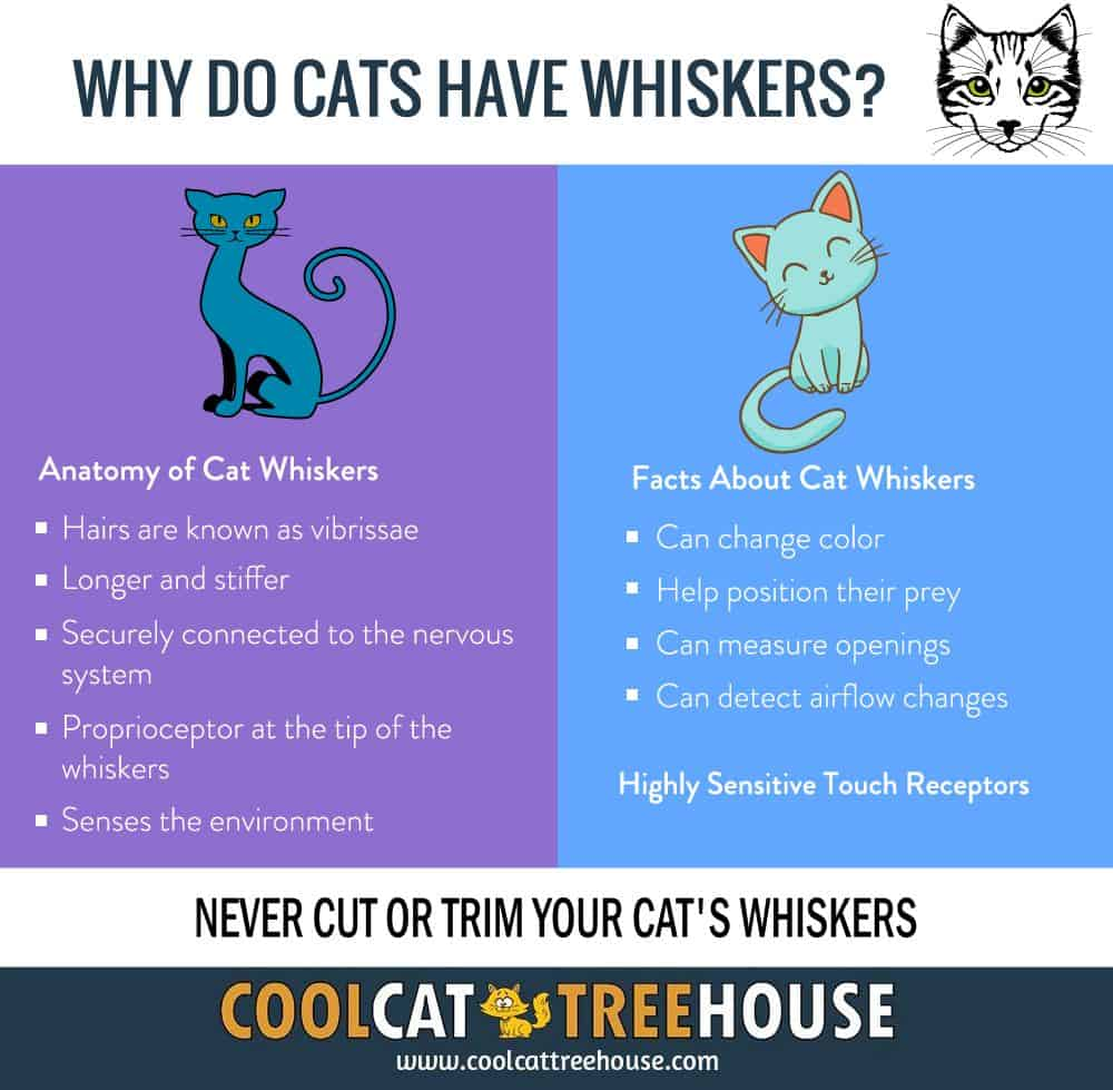 Why Do Cats Have Whiskers? - Cool Cat Tree House