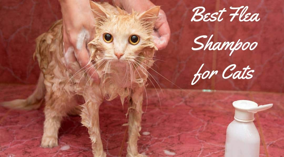 The Best Flea Shampoo for Cats – No More Pests