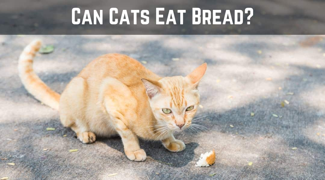 Kitty Nutrition – Can Cats Eat Bread?
